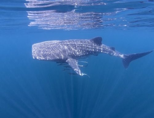 SEAOMAN opens the door to awe-inspiring undersea world of the whale shark